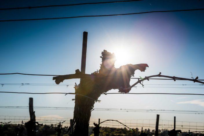 Weingut Bieglmayer Weinstock mit Sonne
