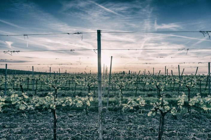 Weingut Bieglmayer Weingarten Sonnenuntergang Wolken