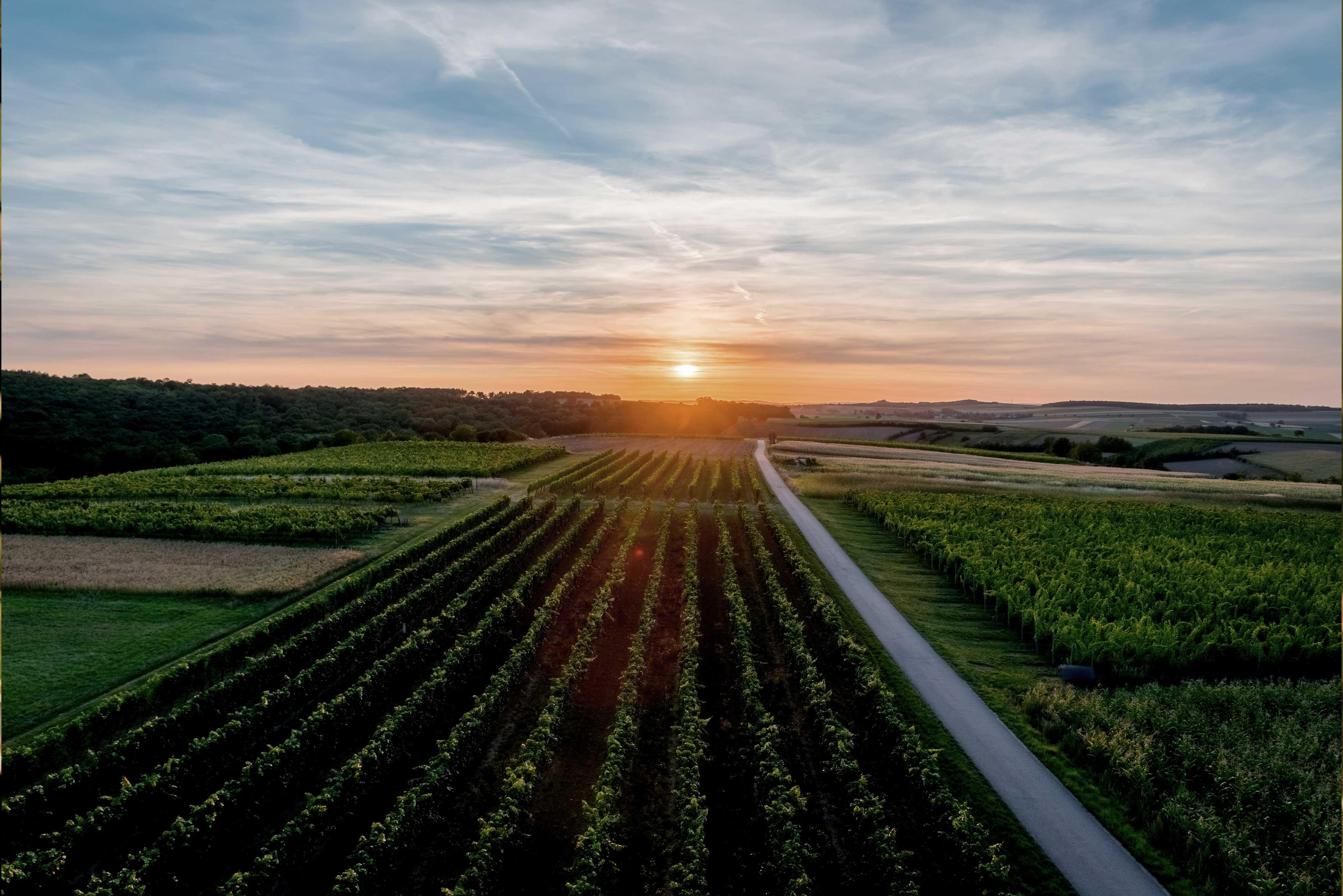 Blick über die Weinrieden im Sonnenuntergang