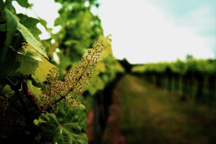 Bieglmayer Weingarten Traube