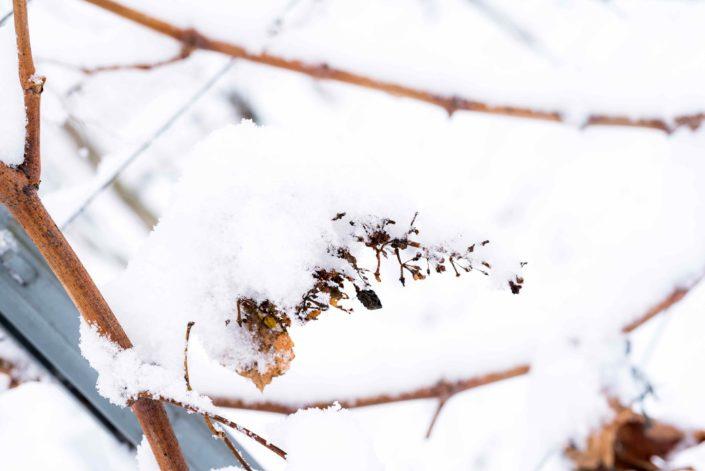 Weingut Bieglmayer Weinrebe schneebedeckt