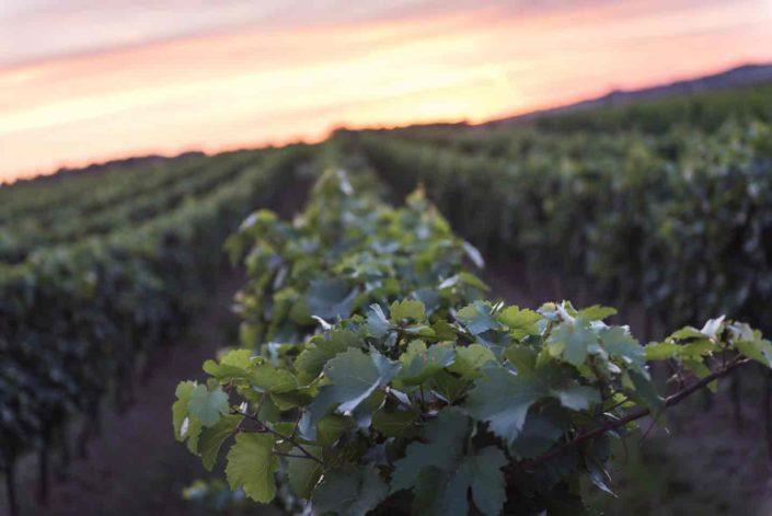 Weingut Bieglmayer Weingartenreihen mit Sonnenuntergang im Hintergrund