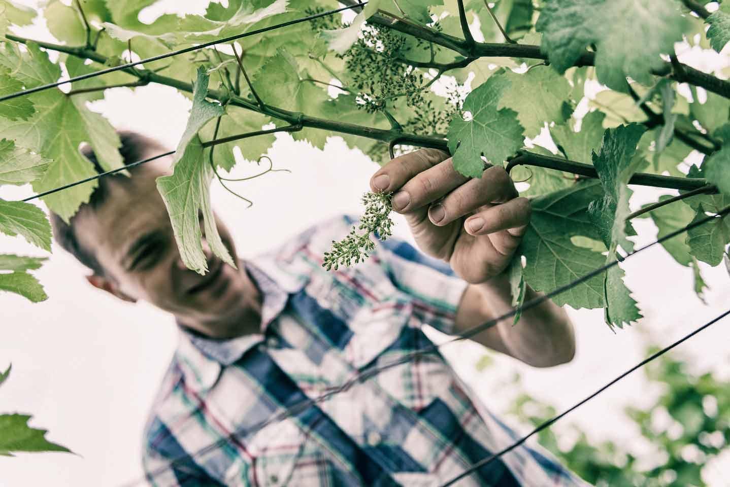 Christoph Bieglmayer zeigt blühende Weinreben