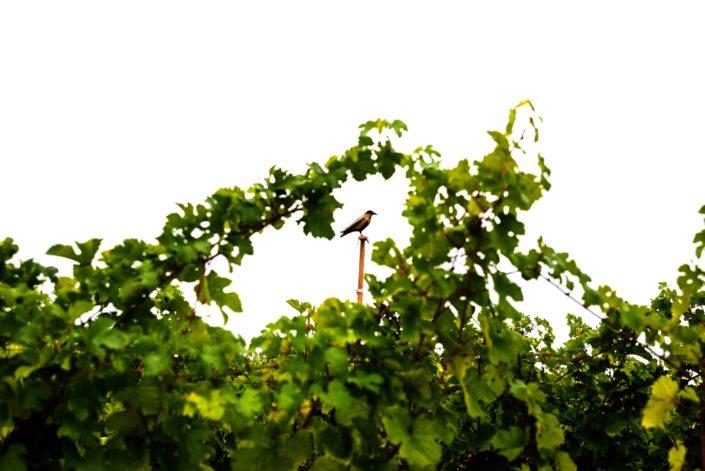 Weingut Bieglmayer Weingarten Vogel